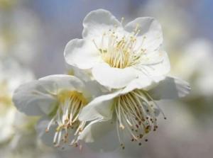 Plum Blossom Orchid Peony Lotus