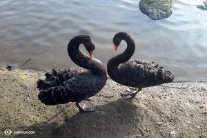 A te dwa czarne łabędzie delektowały się spędzaniem czasu razem. (fot. Andrew Fung)