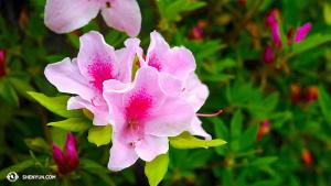 杜鵑花也占一分春色。(攝影:陳陽暮月)