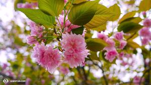 Que serait le Japon au printemps sans les fleurs de cerisiers ? (Photo par le danseur Ben Chen)
