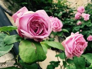 …w tym samym czasie w Anglii kwitło pełno róż, tam właśnie zawitała inna grupa tancerzy. Jeśli widzieliście tradycyjną chińską sztukę, to z pewnościawiedzie, że fascynowano się tam obrazkami stworzonek siedzących na kwiatach i warzywach.