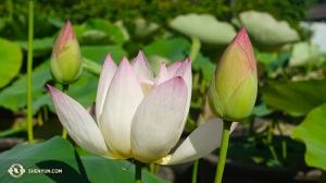 Obok świątyni buddyjskiej, jeden kwiat lotosu był w pełni rozkwitu… (fot. Daren Chou)