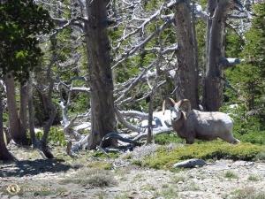 Dzika owca kanadyjska w Montanie. Kolejny urlopowicz z zespołu Shen Yun odpoczywający w innej części kraju spotkał na swej drodze łosia i czarnego niedźwiedzia.