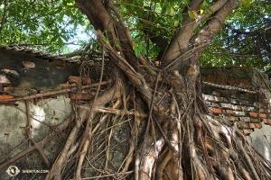 「安平樹屋」を見学。放置された倉庫を覆うガジュマルの根(撮影:プロジェクター映写技師、アニー・リー)