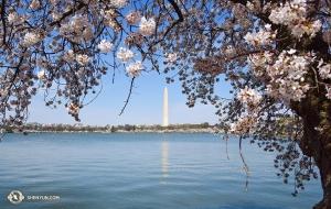 Te drzewa wiśni były oryginalnie prezentem dla Stanów Zjednoczonych od Tokio. Około 3000 takich drzew zostało zasadzonych w 1912 roku. (Edwin Fu)