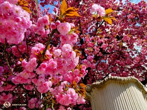Kwiaty kwitną wszędzie. Te jaskraworóżowe odkrywamy podczas zwiedzania Salzburga. (Tony Zhao)