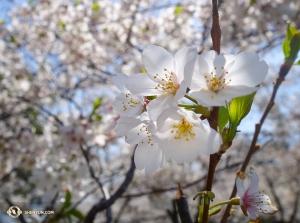 Mieliśmy bardzo dużo szczęścia, że mogliśmy odwiedzić to miejsce niedługo po szczytowym okresie kwitnienia. (Yueh Chu)
