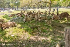 Máme kamarády všude, kam jdeme. Tito volně se potulující jeleni se právě procházejí vparku Nara. Nemůžeme se dočkat, až se příští rok vrátíme do Japonska! (Fotil Andrew Fung)