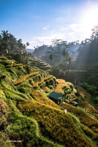 Kontrabasista TK Kuo wyjechał na Bali, do Indonezji. Rozległy widok na zalane słońcem tarasy ryżowe w Tegalalang są warte podróży!