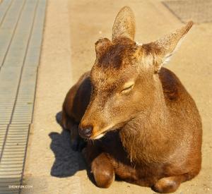 Утром они сели на поезд до Нары – взволнованные и более бодрые, чем этот сонный олень, который им попался по дороге. (Автор фото: танцор Руи Судзуки)