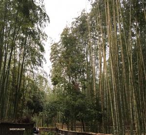 В наш последний день перед отъездом из Киото мы с радостью едем в бамбуковую рощу Арасияма. (Автор фото: танцовщица Бетти Ван)