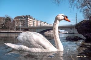 Podpłynął przyjaźnie nastawiony łabędź szwajcarski. (Monty Mou)