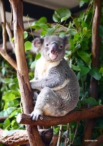 W Brisbane Lone Pine Koala Sanctuary tancerz Jun Liang spotkał bardzo uważnego koalę. Miał duże szczęście, że zastał go obudzonego, bo te misie potrafią spać przez 22 godziny na dobę – już tak mają. (Jun Liang)