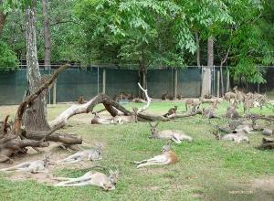 Dziesiątki zmęczonych kangurów odpoczywało od skakania.