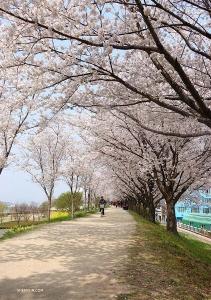 櫻花是日本的國花,韓國的許多櫻花樹是在日本統治時期種植的。 (攝影:舞蹈演員莊士磊)