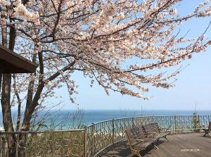 無垠的大海邊,綻放的櫻花下,悠閒的長凳讓人坐下就不願離開。