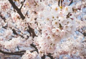 來得早不如來得巧!櫻花只在3月下旬至4月中盛開短短2~3周。(攝影:舞蹈演員Michelle Wu)