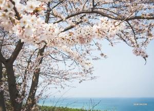 而此時,正在韓國演出的神韻世界藝術團從江陵前往大邱的途中觀賞櫻花盛開。(攝影:舞蹈演員Michelle Wu)
