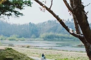 <p>나무껍질의 어두운 색과 대조적으로, 벚꽃 몇 송이가 매혹적으로 듬성듬성 피어있다. (Photo by Michelle Wu)</p>
